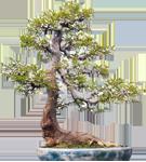 4  樸樹