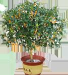 9  桂花